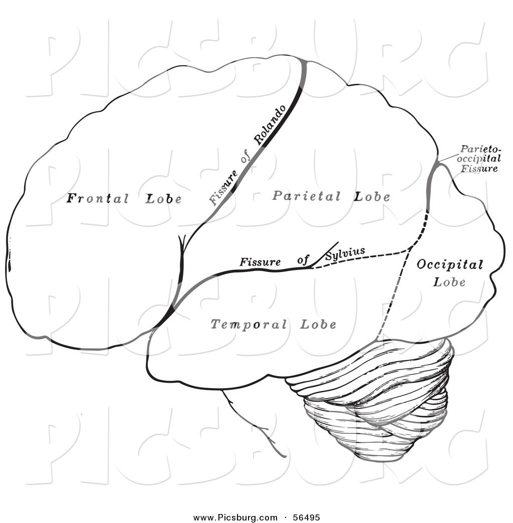 Black And White Retro Diagram Drawing Of The Hemispheres Human Brain