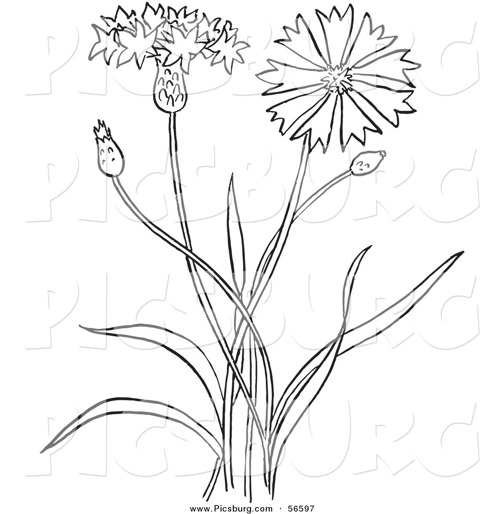 clip art of a coloring page outline of a bachelors buttons flower