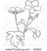 Clip Art of a Coloring Page of a Buttercup Flower Plant by Picsburg