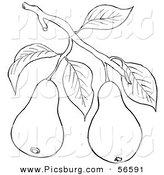 Clip Art of a Coloring Page of a Pear Tree Branch with Fruits by Picsburg