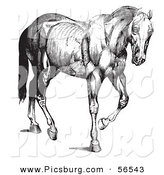 Clip Art of a Old Fashioned Vintage Engraved Horse Anatomy of Muscular Structure in Black and White by Picsburg
