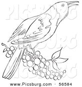 Clip Art of a Oriole Bird on a Branch Full of Berries - Black and White Line Art by Picsburg