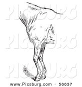 Clip Art of a Retro Vintage Engraved Horse Anatomy of Bad Conformation of Fore Quarters in Black and White on White by Picsburg