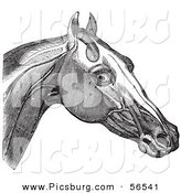 Clip Art of a Retro Vintage Engraving of Horse's Head and Neck Muscles in Black and White 2 by Picsburg