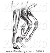 Clip Art of an Old Fashioned Vintage Engraved Diagram of Horse Leg Muscles and Bones in Black and White by Picsburg
