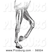 Clip Art of an Old Fashioned Vintage Engraved Diagram of Horse Leg Muscles in Black and White by Picsburg