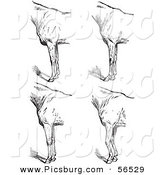 Clip Art of an Old Fashioned Vintage Engraved Horse Anatomy of Bad Conformation of Fore Quarters in Black and White 5 by Picsburg