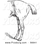 Clip Art of an Old Fashioned Vintage Engraved Horse Anatomy of Bad Hind Quarters in Black and White 3 by Picsburg