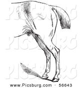 Clip Art of an Old Fashioned Vintage Engraved Horse Anatomy of Bad Hind Quarters in Black and White 4 by Picsburg