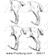 Clip Art of an Old Fashioned Vintage Engraved Horse Anatomy of Bad Hind Quarters in Black and White 5 by Picsburg