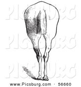Clip Art of an Old Fashioned Vintage Engraved Horse Anatomy of Bad Hind Quarters in Black and White 6 by Picsburg