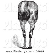 Clip Art of an Old Fashioned Vintage Engraved Horse Anatomy of Good Hind Quarters in Black and White 2 by Picsburg