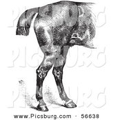 Clip Art of an Old Fashioned Vintage Engraved Horse Anatomy of Good Hind Quarters in Black and White by Picsburg