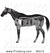 Clip Art of an Old Fashioned Vintage Engraved Horse Anatomy of the Circulatory System in Black and White by Picsburg