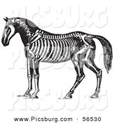 Clip Art of an Old Fashioned Vintage Horse Anatomy of the Skeleton in Black and White 1 by Picsburg