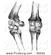 Clip Art of Two Horse Knee Bones and Joints - Black and White by Picsburg