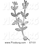 Vector Clip Art of a Black and White Herbal Marjoram Plant by Picsburg