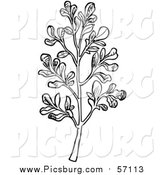 Vector Clip Art of a Black and White Herbal Rue Plant by Picsburg