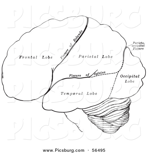 clip art of a black and white retro diagram drawing of the hemispheres of the human brain by