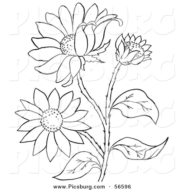 Clip Art of a Coloring Page of a Black Eyed Susan Flower Plant