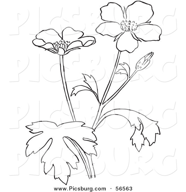 Clip Art of a Coloring Page of a Buttercup Flower Plant