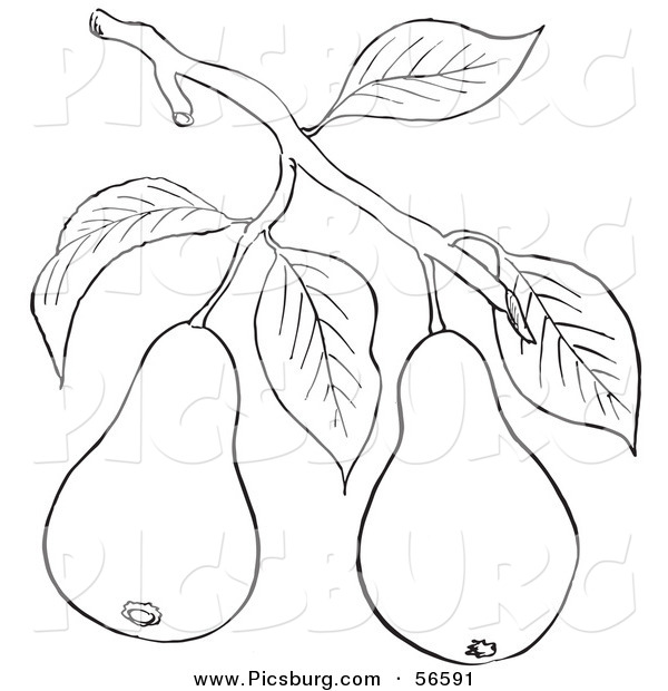 Clip Art of a Coloring Page of a Pear Tree Branch with Fruits