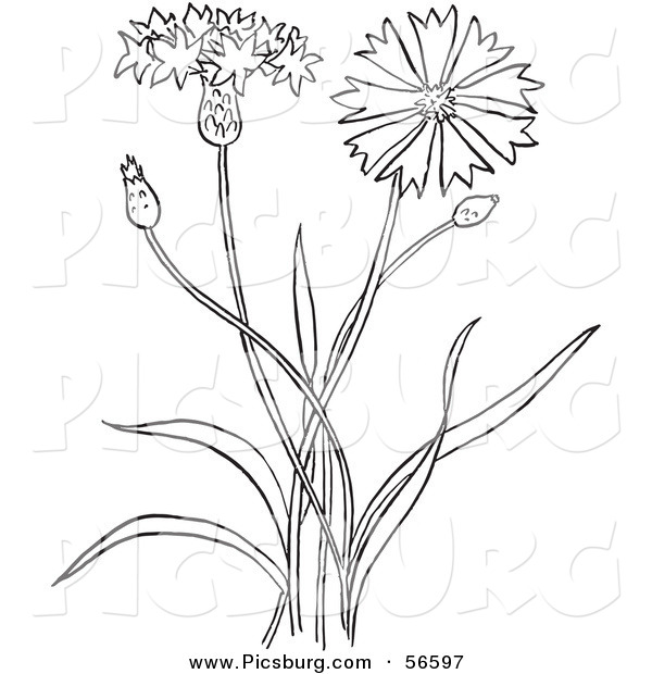 Clip Art of a Coloring Page Outline of a Bachelors Buttons Flower Plant
