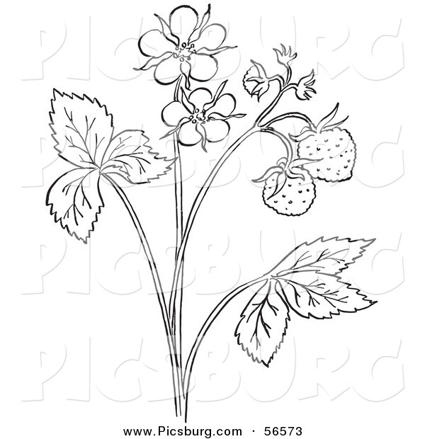 Clip Art of a Coloring Page Outline of a Strawberry Plant with Blossoms