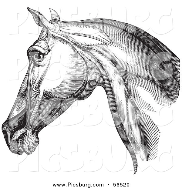Clip Art of a Horse Head Highlighting Neck Muscles - Black and White Version #1