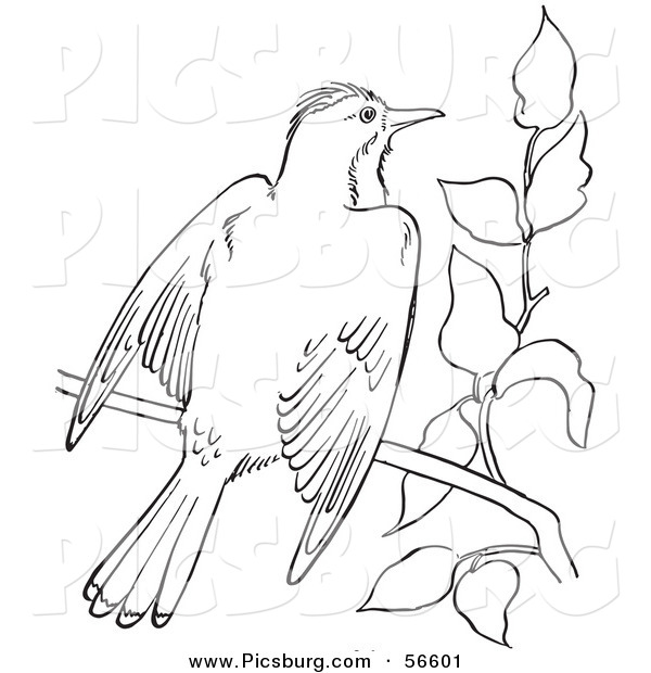 Clip Art of a Kingbird with Open Wings on a Tree Branch - Black and White Line Art