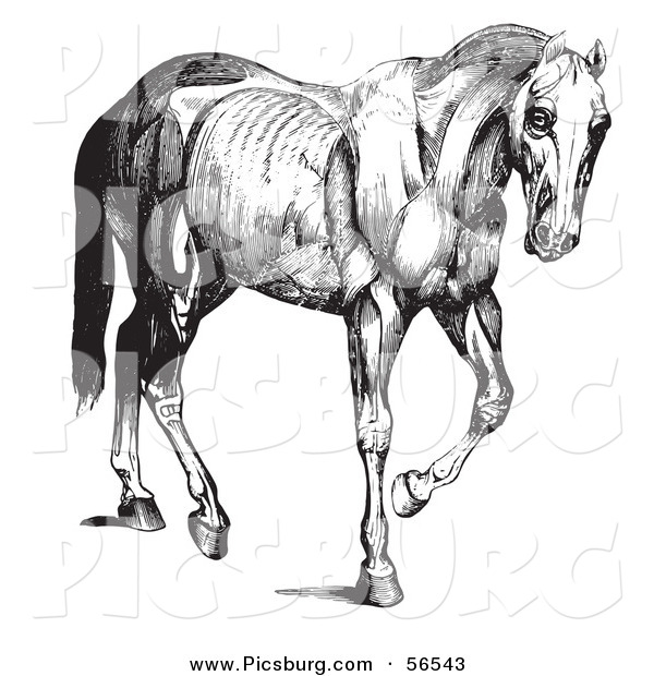 Clip Art of a Old Fashioned Vintage Engraved Horse Anatomy of Muscular Structure in Black and White