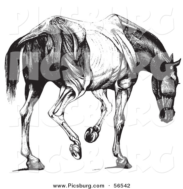 Clip Art of a Retro Vintage Engraved Horse Anatomy of Muscular Covering Butt View in Black and White