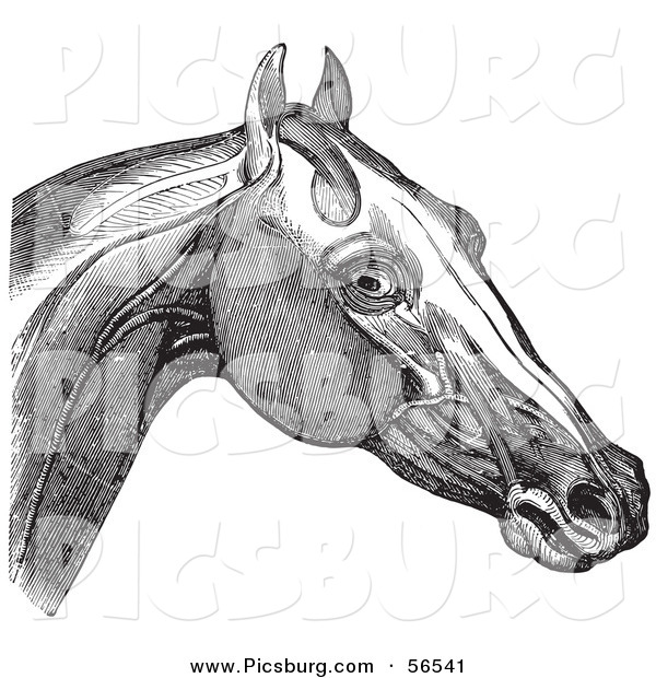 Clip Art of a Retro Vintage Engraving of Horse's Head and Neck Muscles in Black and White 2