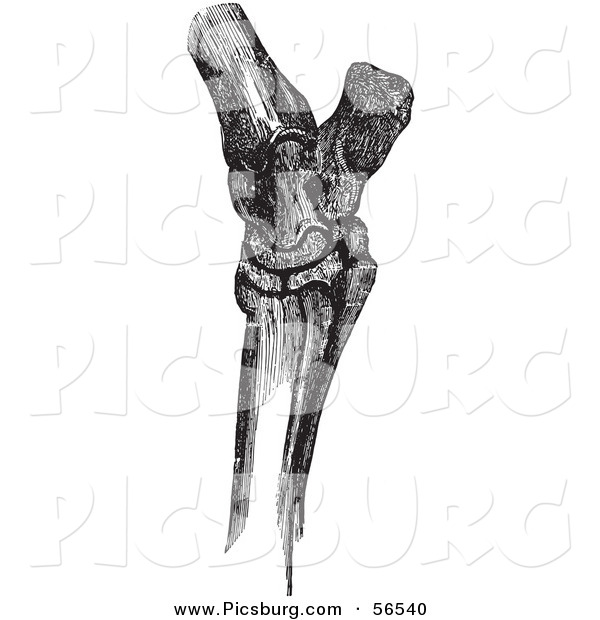 Clip Art of a Retro Vintage Sketch of Horse Hock Bones in Black and White
