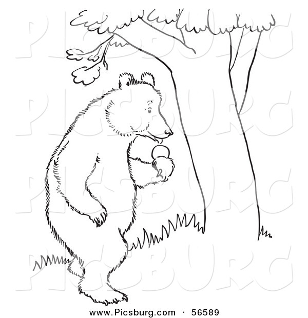 Clip Art of a Standing Bear with Apples Beside a Tree - Black and White Line Art