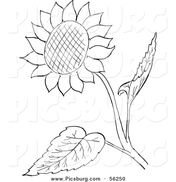Clip Art of a Sunflower and Leaves - Black and White Line Art