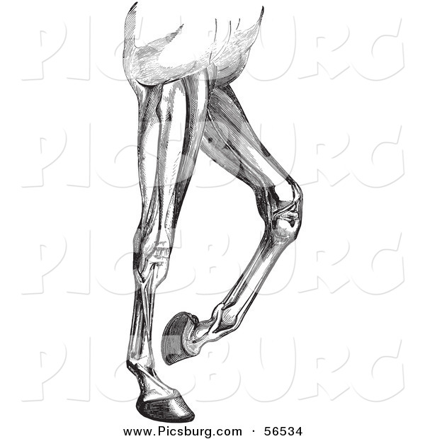 Clip Art of an Old Fashioned Vintage Engraved Diagram of Horse Leg Muscles in Black and White