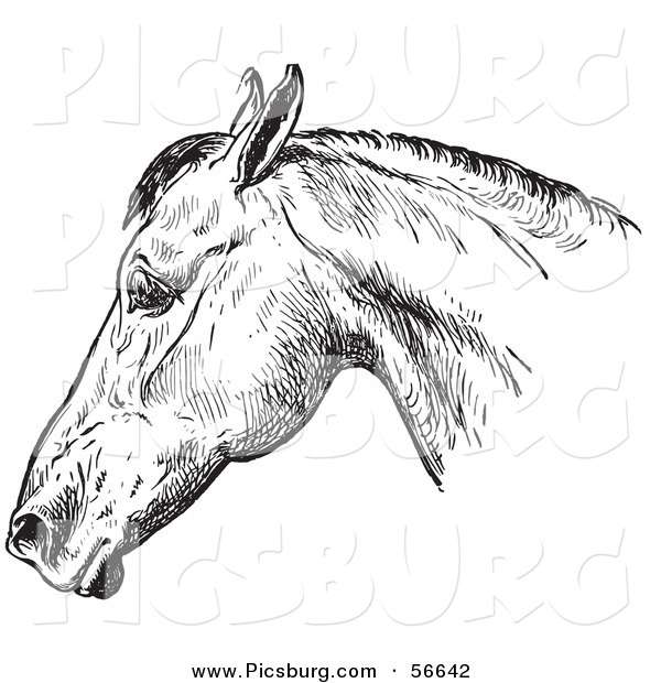 Clip Art of an Old Fashioned Vintage Engraved Horse Anatomy of a Bad Head in Black and White 1