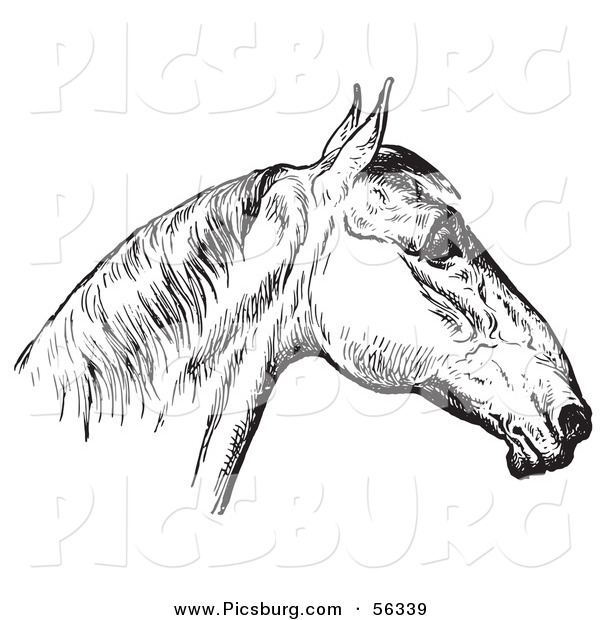 Clip Art of an Old Fashioned Vintage Engraved Horse Anatomy of a Bad Head in Black and White 4