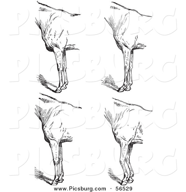 Clip Art of an Old Fashioned Vintage Engraved Horse Anatomy of Bad Conformation of Fore Quarters in Black and White 5