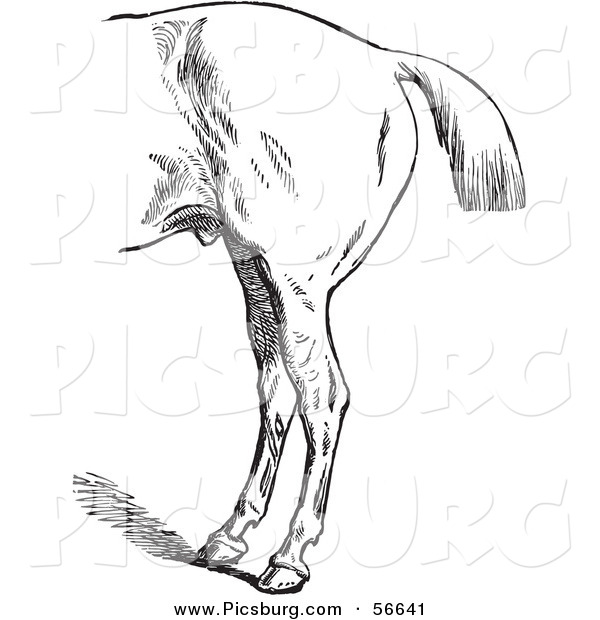 Clip Art of an Old Fashioned Vintage Engraved Horse Anatomy of Bad Hind Quarters in Black and White 3