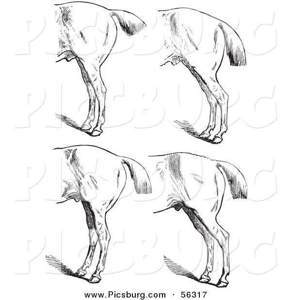 Clip Art of an Old Fashioned Vintage Engraved Horse Anatomy of Bad Hind Quarters in Black and White 5