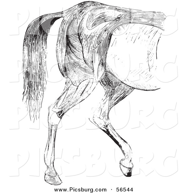 Clip Art of an Old Fashioned Vintage Engraved Horse Anatomy of Hind Quarter Muscular Covering in Black and White