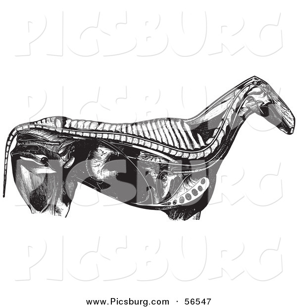 Clip Art of an Old Fashioned Vintage Engraved Horse Anatomy of Internal Bones Organs in Black and White