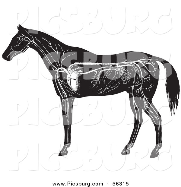 Clip Art of an Old Fashioned Vintage Engraved Horse Anatomy of the Circulatory System in Black and White