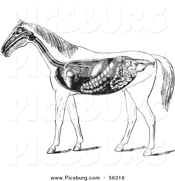 Clip Art of an Old Fashioned Vintage Engraved Horse Anatomy of the Digestive System in Black and White