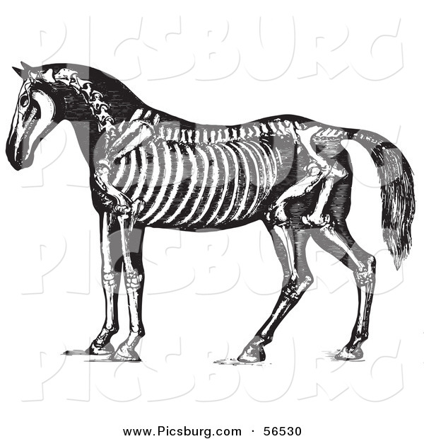 Clip Art of an Old Fashioned Vintage Horse Anatomy of the Skeleton in Black and White 1