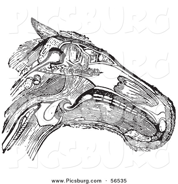 Clip Art of an Olf Fashioned Vintage Diagram of a Horse Head with Muscles Tendons and Bones in Black and White