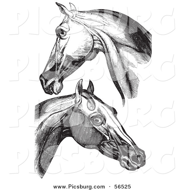 Clip Art of Horse Head and Neck Muscles - Black and White