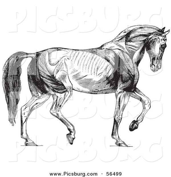 Clip Art of Walking Horse Muscles - Black and White
